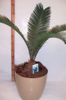 plante cycas r voluta. Black Bedroom Furniture Sets. Home Design Ideas